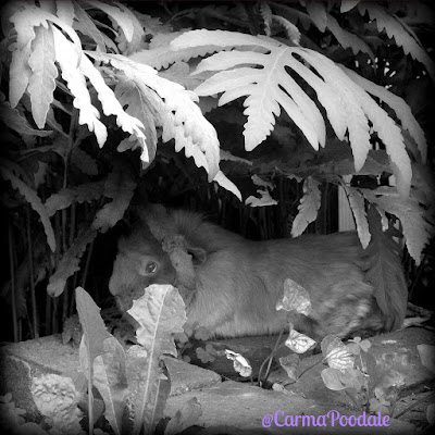 Guinea pig under a fern leaf
