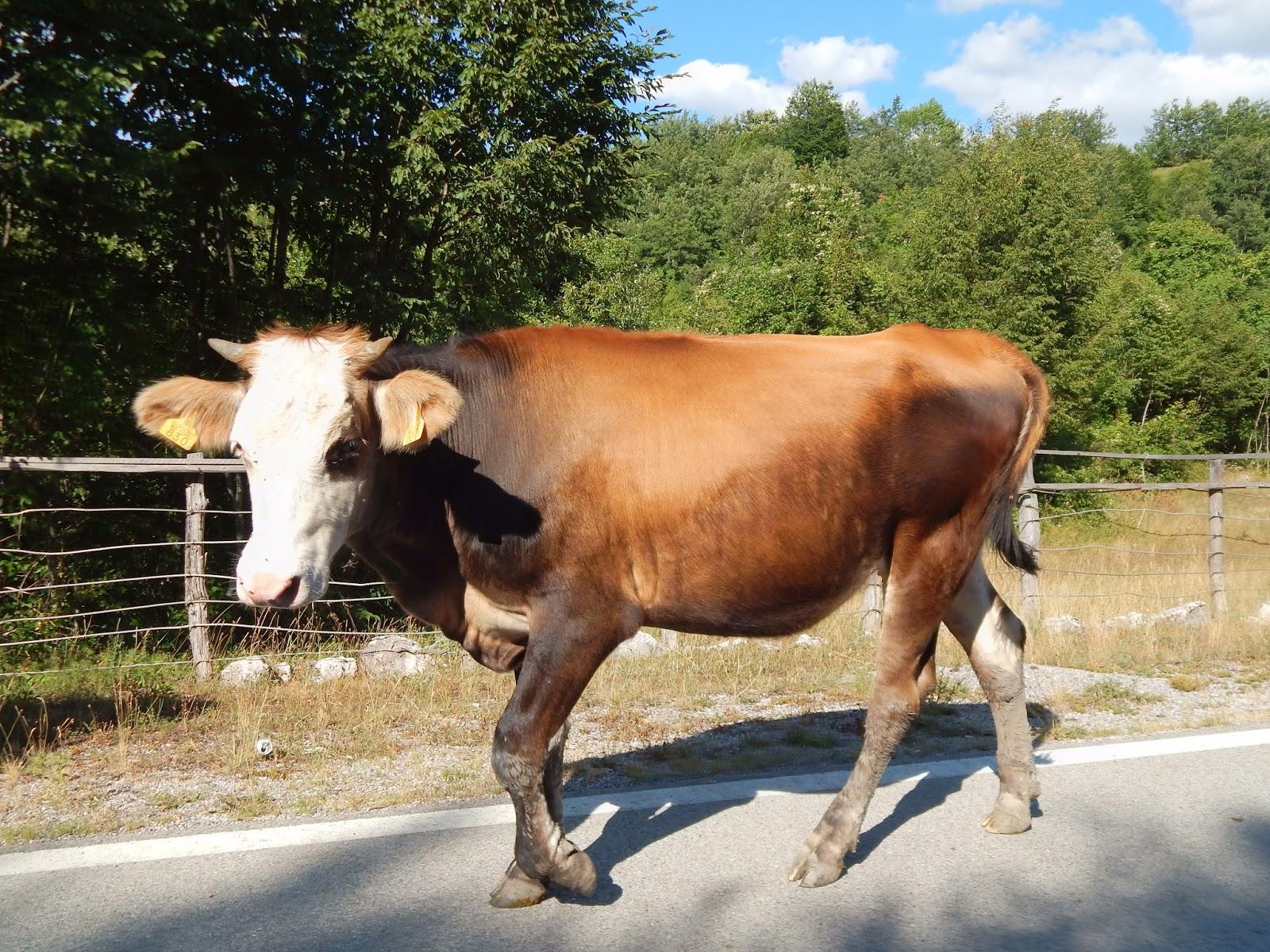 kráva na silnici v Rumunsku