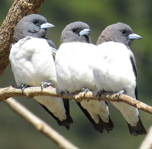 Indian birds - Image of White-breasted woodswallow - Artamus leucoryn