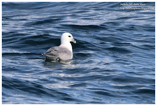 https://bioclicetphotos.blogspot.fr/search/label/Fulmar%20bor%C3%A9al%20-%20Fulmarus%20glacialis