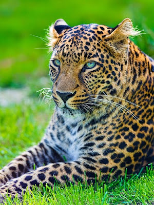 Leopard lying in the grass, be careful who you trust African proverbs photo by Tambako The Jaguar