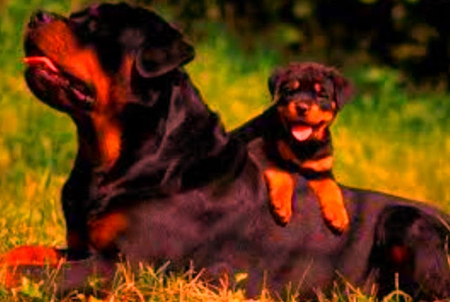 10 FACT ABOUT ROTTWEILER, YOU DIDN'T KNOW ABOUT EARLIER.