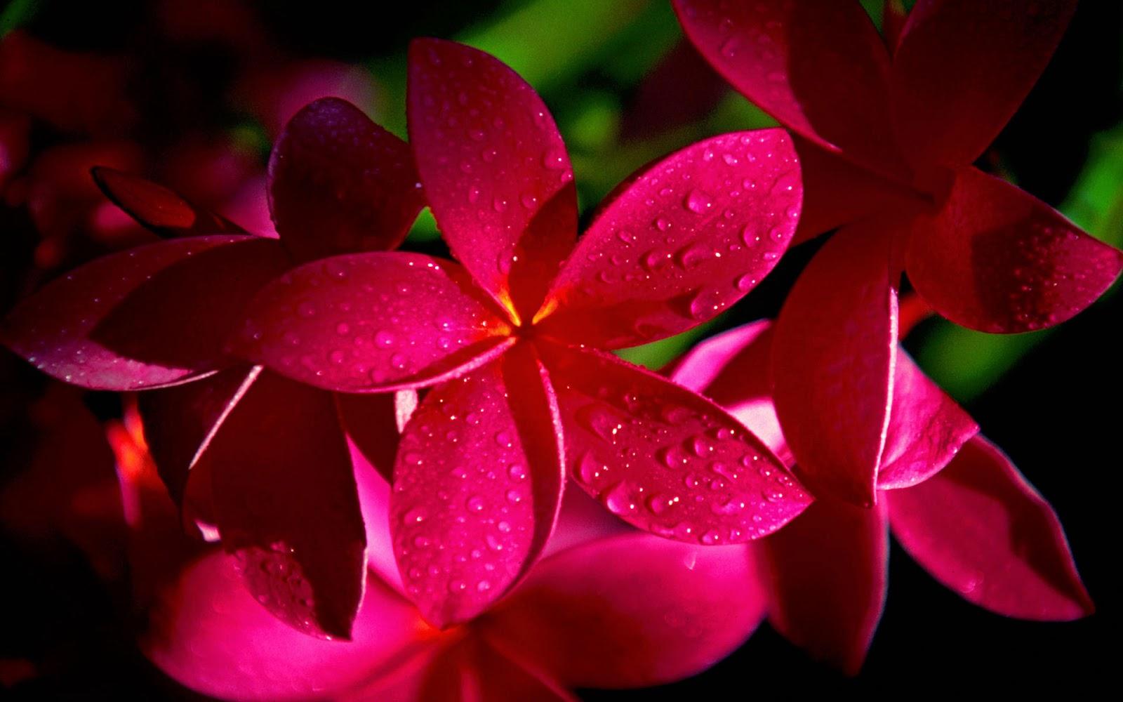 Romantic Flowers Plumeria Flower