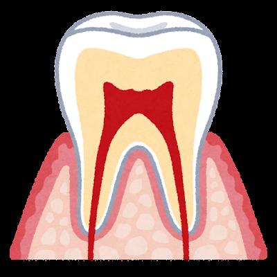 歯の断面のイラスト