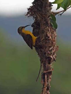 5 Sarang Burung Terunik Versi Timkicau