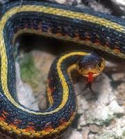 Garter snake at Manitoba Canada