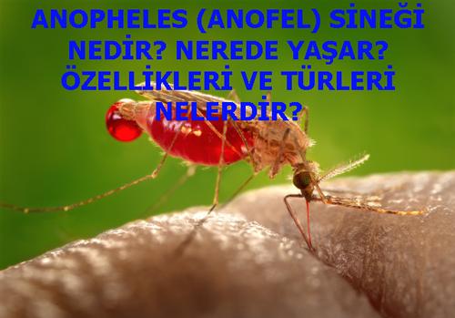 ANOPHELES (ANOFEL) SİNEĞİ NEDİR? NEREDE YAŞAR? ÖZELLİKLERİ VE TÜRLERİ NELERDİR?