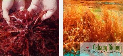 Rhodophyta (Ganggang Merah) dan Phaeophyta (Ganggang CokelatPirang)