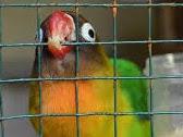 Penyebab Dan Cara Mengatasi Lovebird Galak Dan Giras