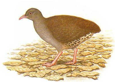 aves de Misiones Tataupá chico Crypturellus parvirostris
