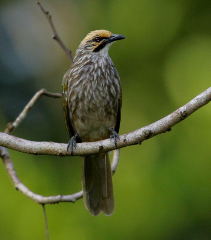 Burung Cucak Rowo Aceh Mengenal Ciri Ciri Dan Kualitas Suaran Burung Cucak Rowo Asal Dari Aceh Penangkaran Burung Cucak Rowo