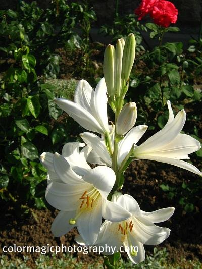 White lily in the garden-lilium
