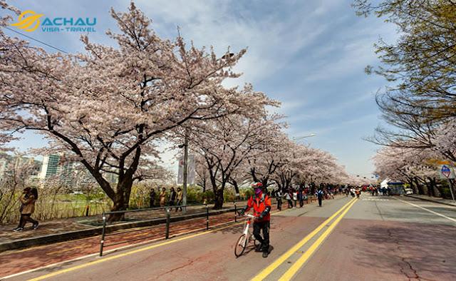 Du lịch Hàn Quốc ngay kẻo lỡ mùa hoa anh đào1