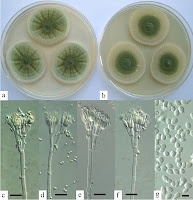 http://sciencythoughts.blogspot.co.uk/2016/05/penicillium-excelsum-new-species-of_6.html