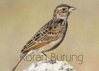 di Indonesia mempunyai huruf bunyi dan warna batikan yang berbeda Jenis Burung Branjangan Yang Ada Di Indonesia