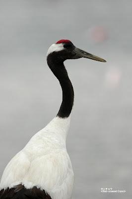 タンチョウ ≪Red-crowned Crane≫