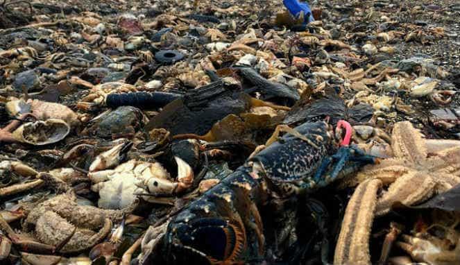 Jutaan Ikan, Kepiting dan Lobster Memenuhi Pantai Usai Badai Reda