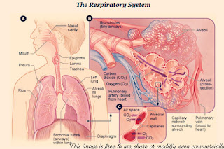 respiratory-system-of-human