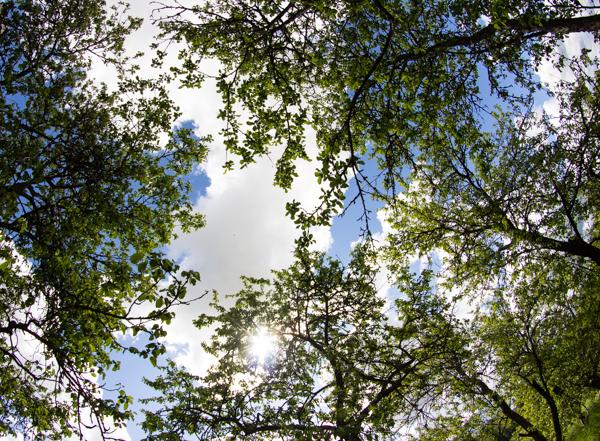 PauMau blogi nelkytplusbloggari nelkytplus kesäkuu pieni lintu haaste haasteblogi kesä vanha omenapuu taivas pilvet kesäpäivä aurinkoinen ilma aurinko old appletree apple vihreät lehdet