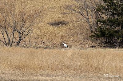 タンチョウ Red-crowned Crane 根室 Nemuro