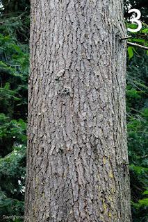 Western Hemlock (Tsuga heterophylla)