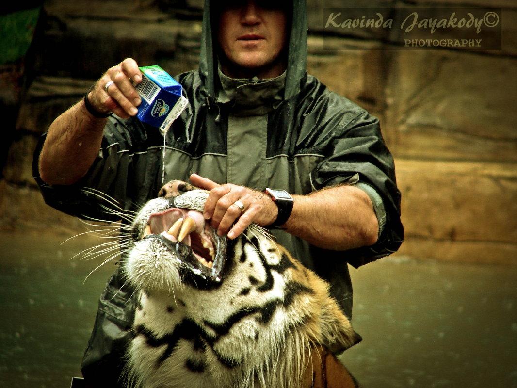 Tiger | The Biggest Animals Kingdom  |Biggest White Tiger In The World