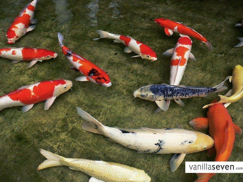 Budidaya Ikan Hias Koi