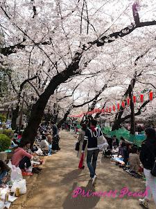 櫻花樹下飲酒作樂