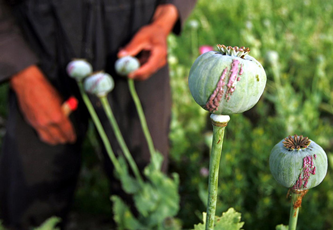 Penelitian The opium poppy genome and morphinan production