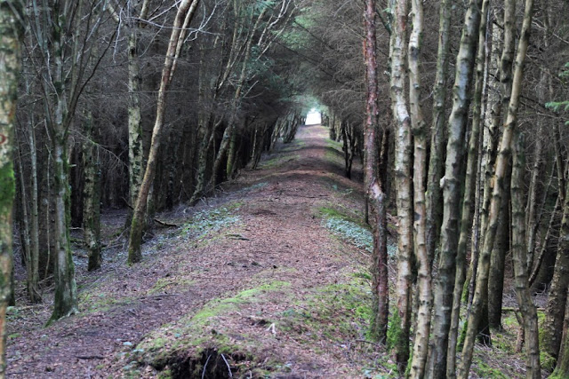 Avenue of Trees Derryounce Portarlington