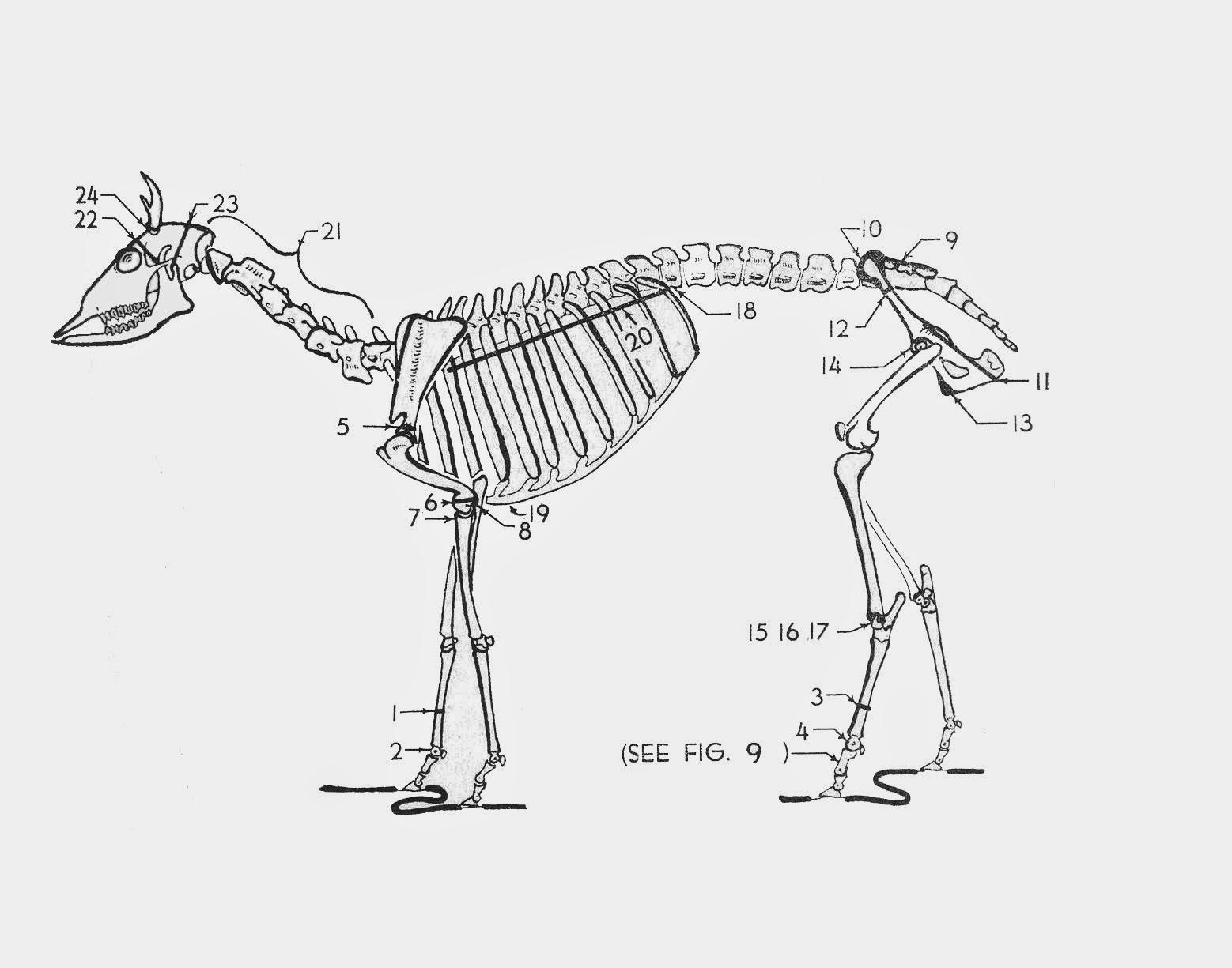 Deer Skeleton Diagram 1989 Honda Civic Radio Wiring This Week In Pennsylvania Archaeology Zooarchaeology