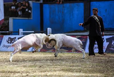 Domba Garut spesialis adu domba dan bisa ternak domba garut
