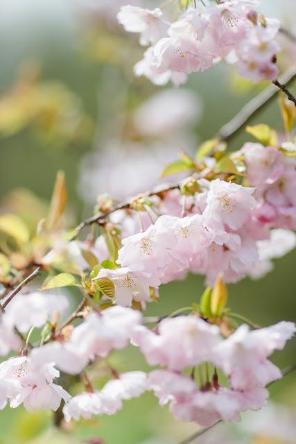 Garten Anfang April, japanische Zierkirsche, Pomponetti