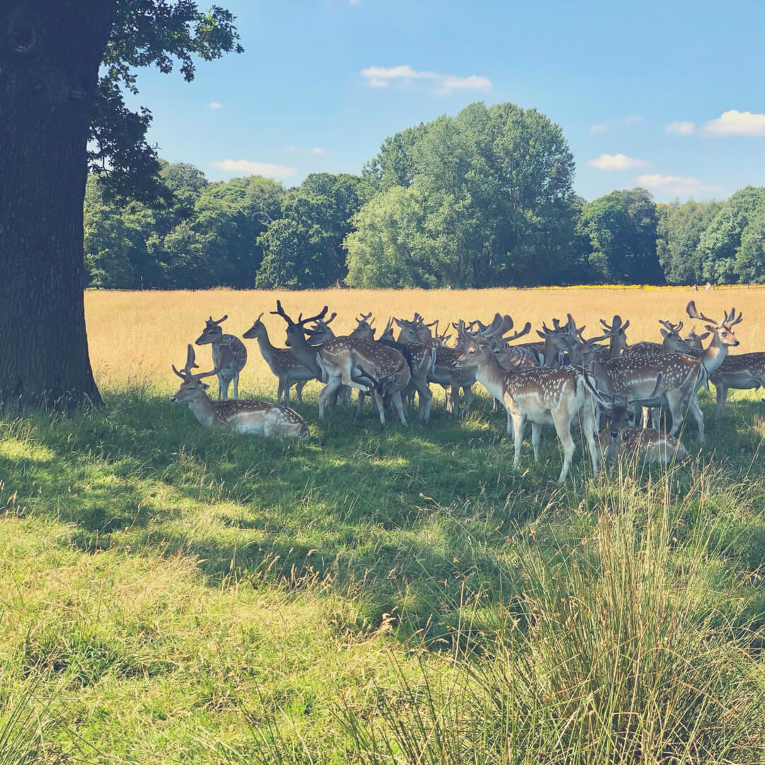Nordic Walking in Wollaton Park, Nottingham you might get to see some beautiful deer like these hiding in the tree's shade.