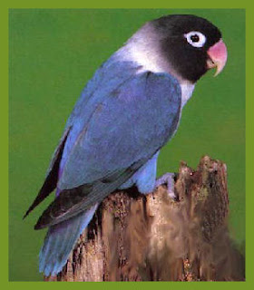 Jenis Lovebrid -  Lovebird Kaca Mata Topeng ( Agapornis Personata ) - Penangkaran Burung Lovebrid
