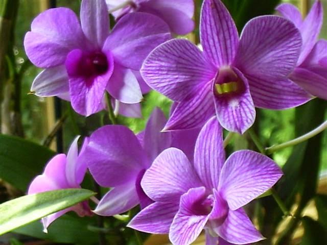 Dendrobium Phalaenopsis Anggrek Larat Tips Rawat Rumah Taman Dan Ac