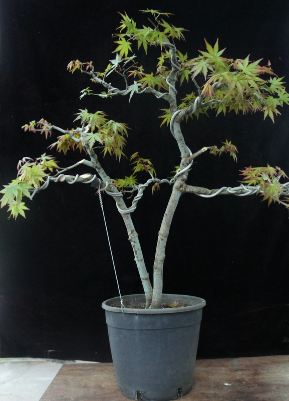 newzealandteatreebonsai: First Styling on an Air Layered ...