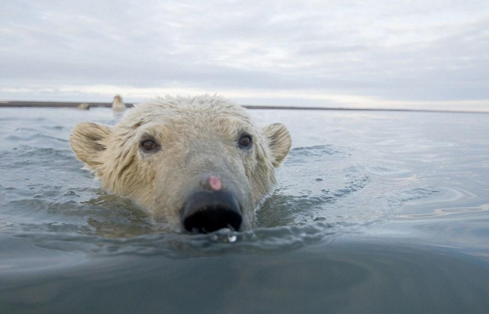 الدببة القطبية 0_94f07_714b67c0_ori