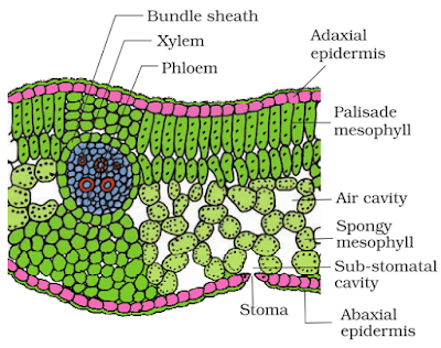 Ts structure of dicot leaf