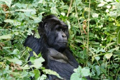 4 days Rwanda luxury gorilla with Lake Kivu, Lake Kivu tour, Kivu tour gorillas, kivu serena,  rwanda gorillas relax kivu, 4 days gorilla tour rwanda, luxury safari rwanda,primates tour rwanda cheap Gorilla trek Rwanda,mid-price Rwanda gorilla tour, gorilla safari, budget tour rwanda, Rwanda, rwanda tour operator, rwanda tour company, gorilla tour agent, gorilla,
