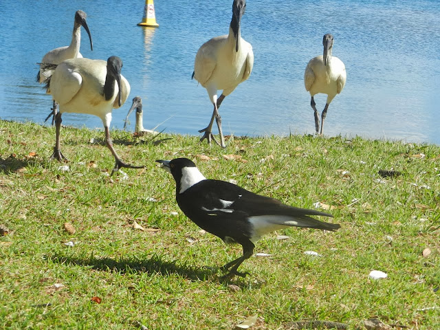 photo of a magpie being bullied by 4 Ibis for his crumb