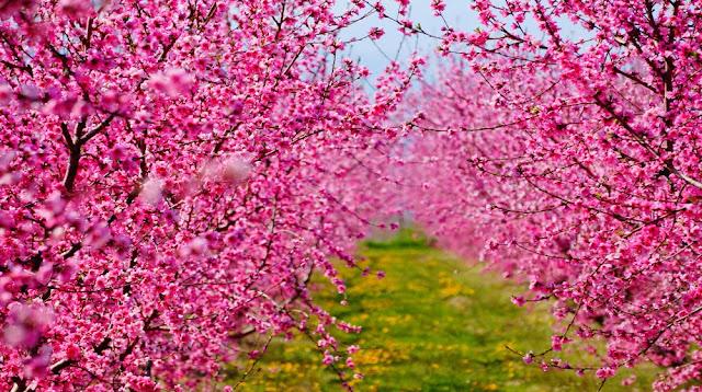 """Οι ανθισμένες ροδακινιές της Βέροιας """"συναγωνίζονται"""" τις κερασιές της Ιαπωνίας"""