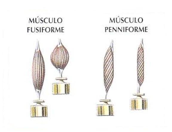 Músculo fisiforme y músculo peniforme | Rane Forti