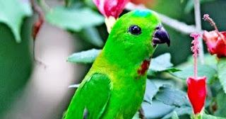 suara burung serindit, suara serindit, burung serindit, serindit
