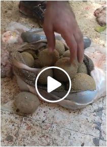 بالفيديو طريقة غش جديدة لزيادة وزن اضاحي العيد