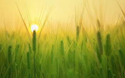 barley field sunrise widescreen resolution hd wallpaper
