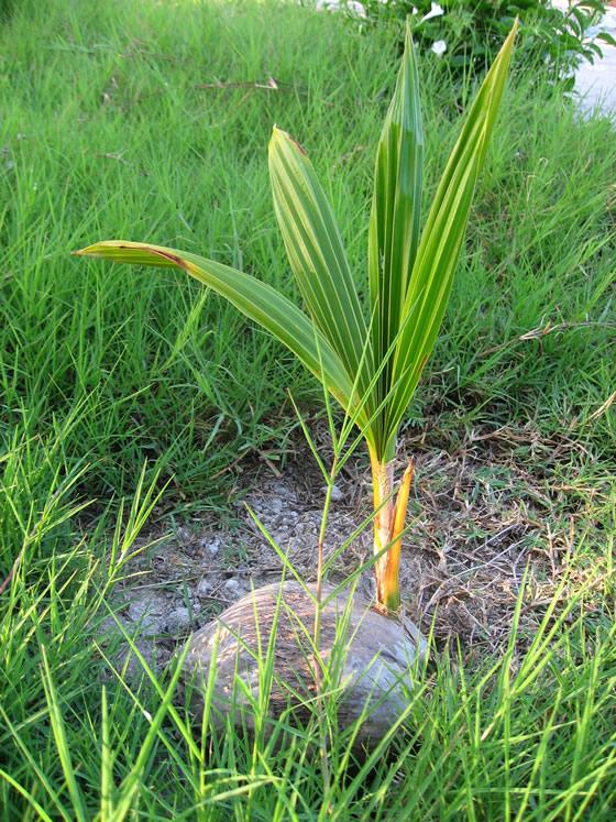 Monocotyledones - coconut