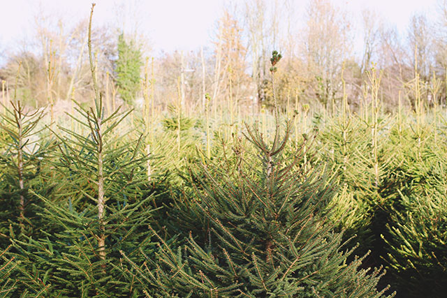 Christmas Tree Farm UK