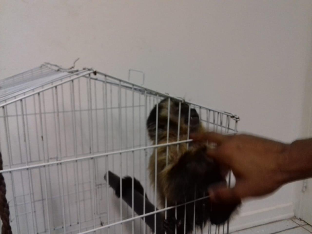 PM resgata macaco-prego vítima de maus-tratos em Mogi Guaçu (SP)