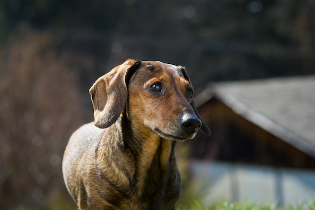 Evaluating Lumps and Bumps in Dogs | Australian Dog Lover